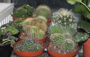 Kaktüs çiçeği radyasyonu önlüyor